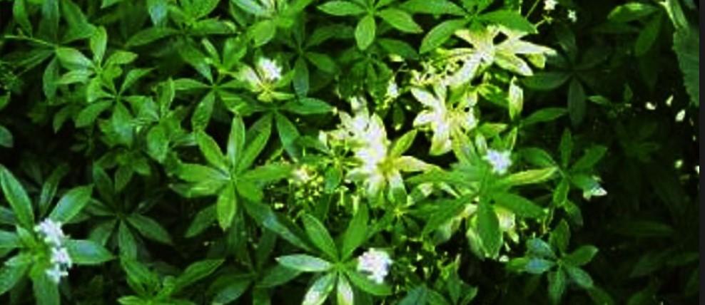 Brain Boosting Herbs & Spices - Sage